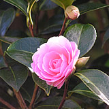 A closer look at the magnificent camellias at Caerhays